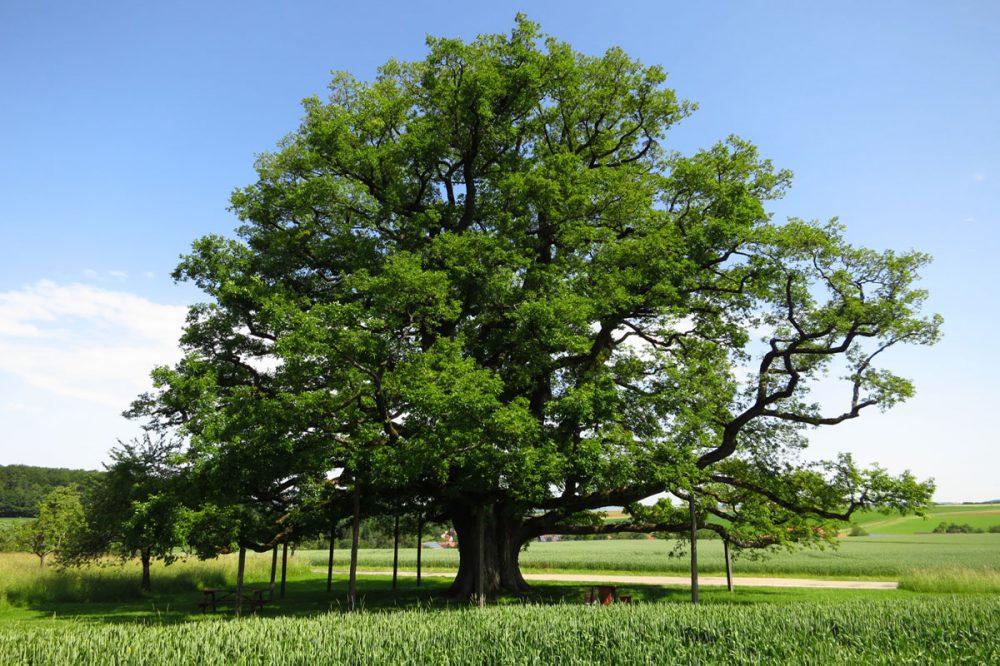 einzelstehender Baum