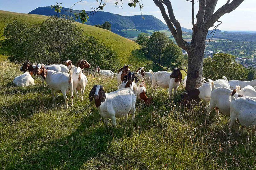 Ziegen in freier Landschaft