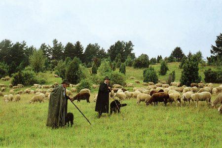 zwei Schäfer mit Hunden bei der Herde