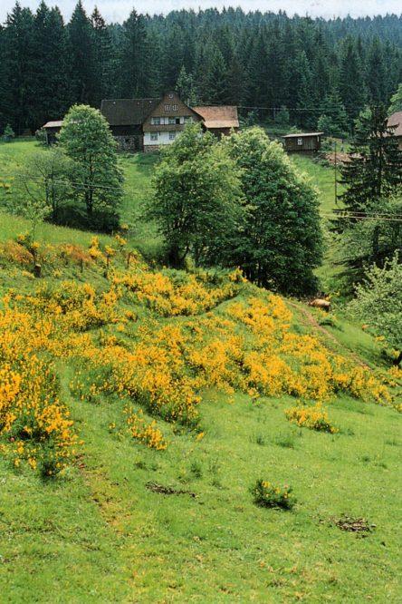 Heidelandschaft mit gelben Blüten