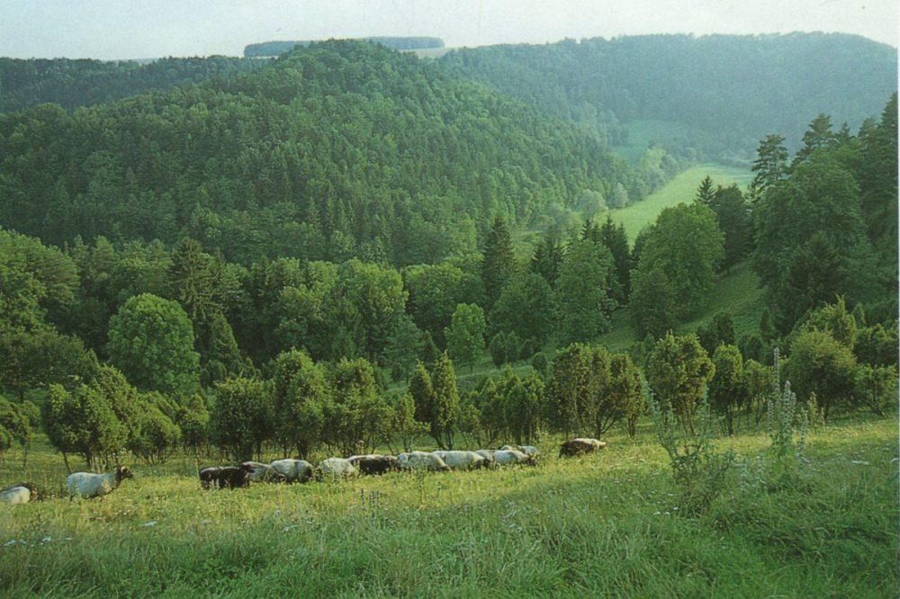 Schafherde in bewaldetem Tal
