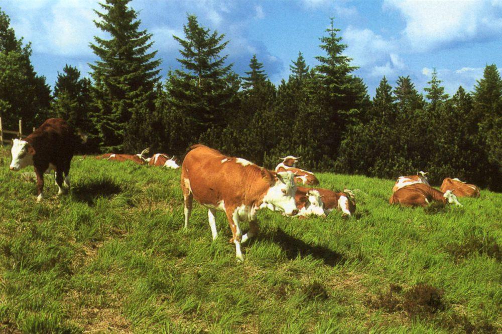 Rinder auf einer Waldweide