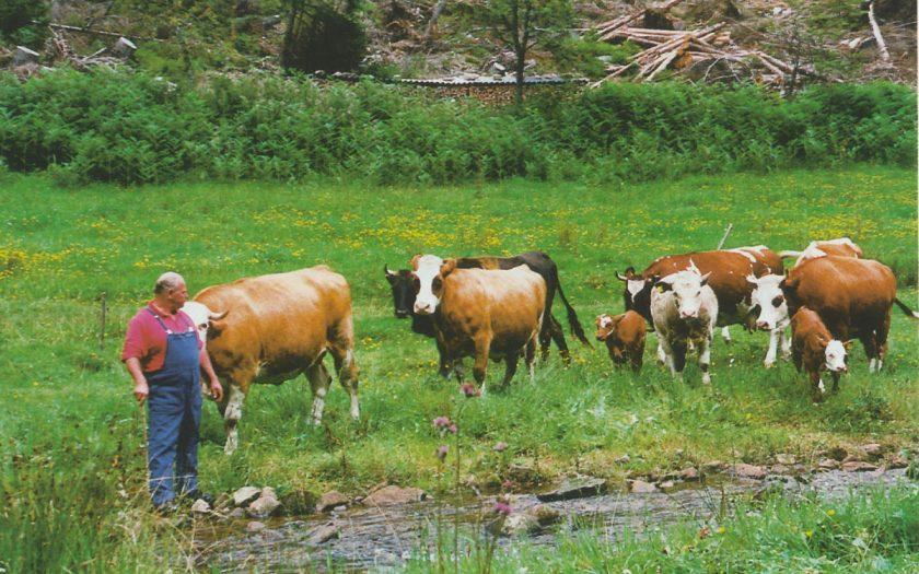 ein Mann mit einer Rinderherde auf einer Wiese