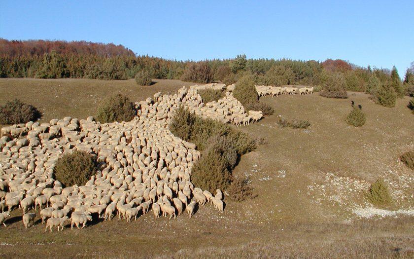 Schafherde auf einer Heide