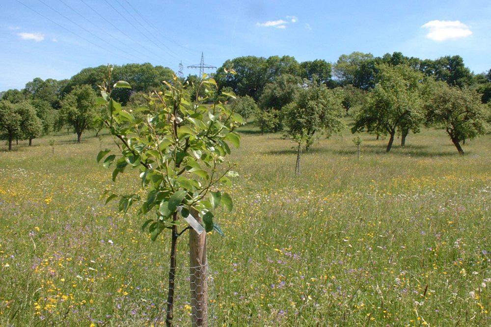 Baumwiese im Sommer