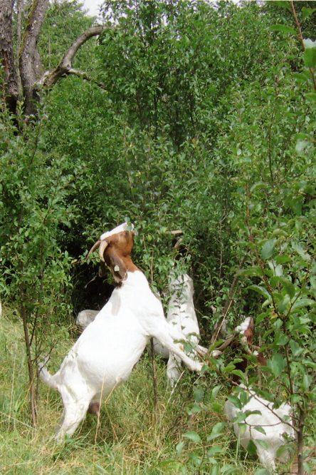 Ziegen fressen Blätter von einem Baum