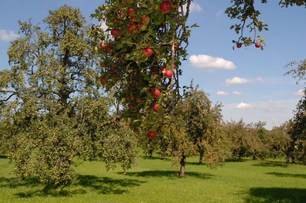 prächtige Apfelbäume