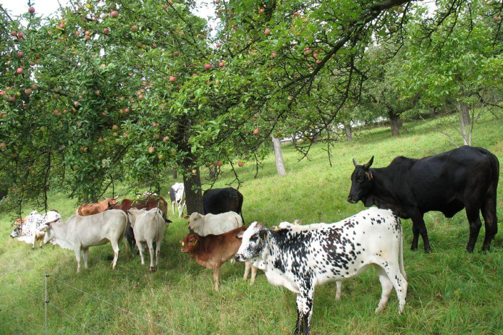 Rinder unter Obstbäumen