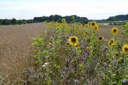 Getreidefeld mit Blütenstreifen