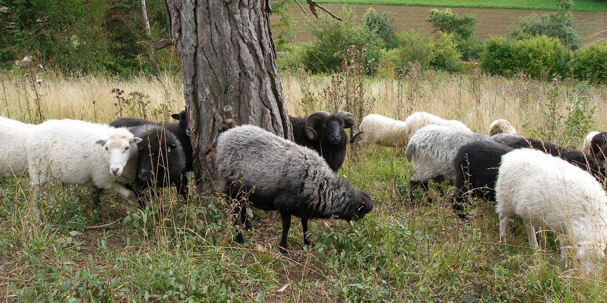 Schafe an einem Baum