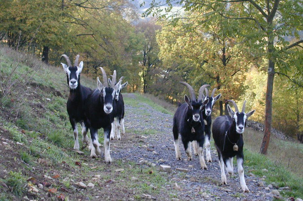 Ziegenherde im Wald