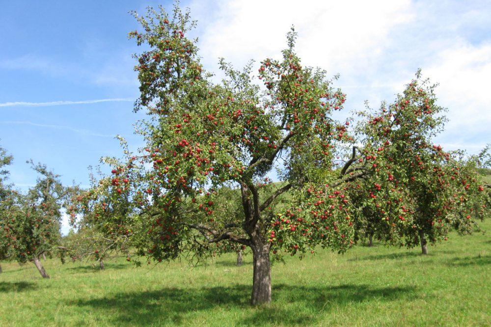 Apfelbaum voller roter Früchte