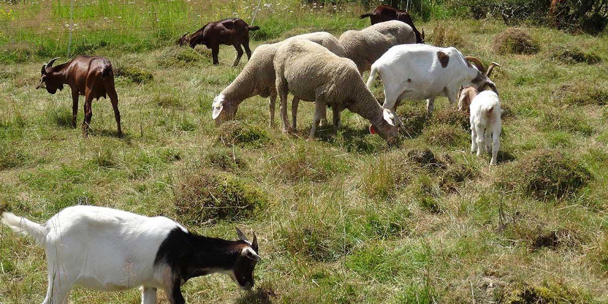 Schafe und Ziegen auf einer Wiese