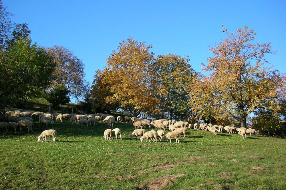 Schafherde vor Bäumen