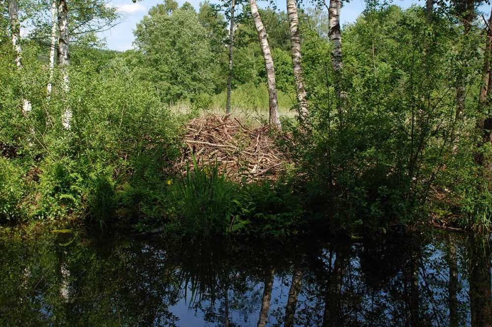 Biberbau im Wald
