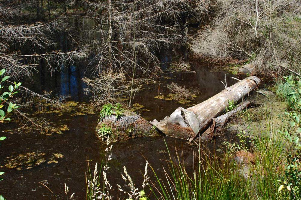 absterbender Baum im Wasser