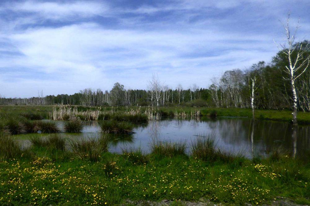 Birkenwald mit Weiher