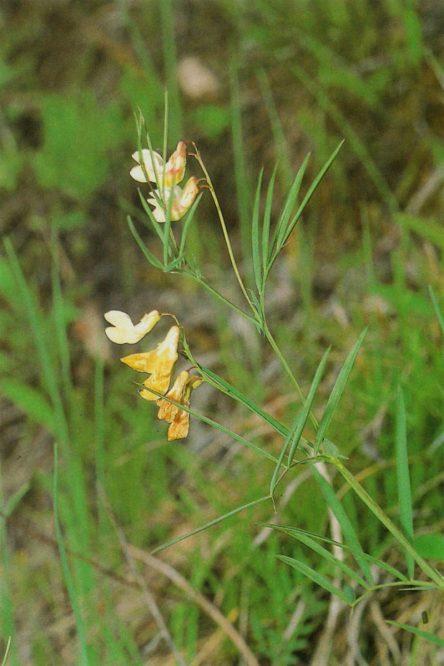 gelbblühende Pflanze