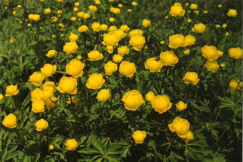 gelbblühende Pflanzen